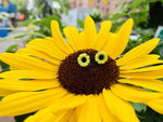 Load image into Gallery viewer, In the center of a large and bright sunflower are two 3D printed R+D studs. They are shaped like sunflowers as well and have black centers with bright yellow petals.