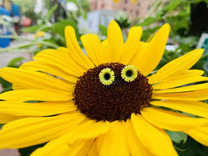 In the center of a large and bright sunflower are two 3D printed R+D studs. They are shaped like sunflowers as well and have black centers with bright yellow petals.