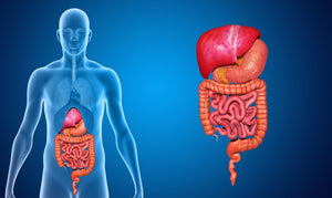 Understanding the Human Digestive System