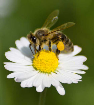 Can Honeybees Benefit from Probiotics?
