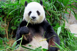 Could Probiotics Save Panda Bears?