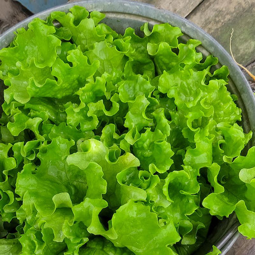 Lettuce, Green Leaf