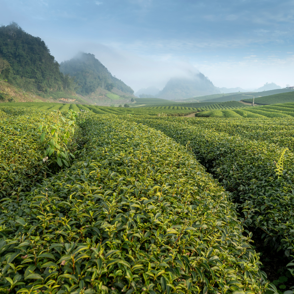 Harvest History and Current Gardening Practices: The Effects on Tea Quality (Tea Terroir Part VI)