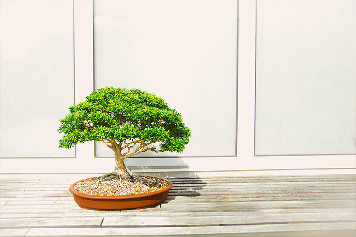 Wiring and Shaping Your Bonsai Tree