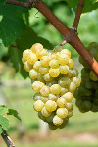 Essential White Grape Varieties Class