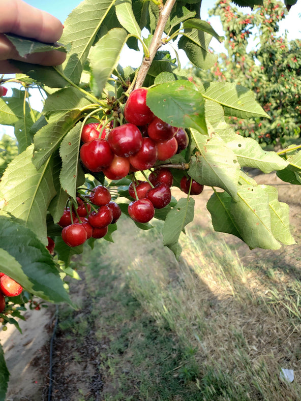 Cherry Crop Assessment After Brief Spring Storm