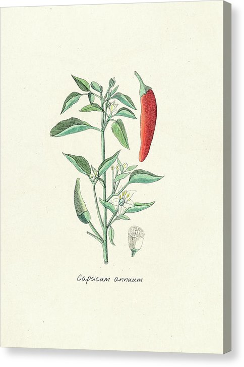 Antique Chili Pepper Illustration - Canvas Print from Wallasso - The Wall Art Superstore