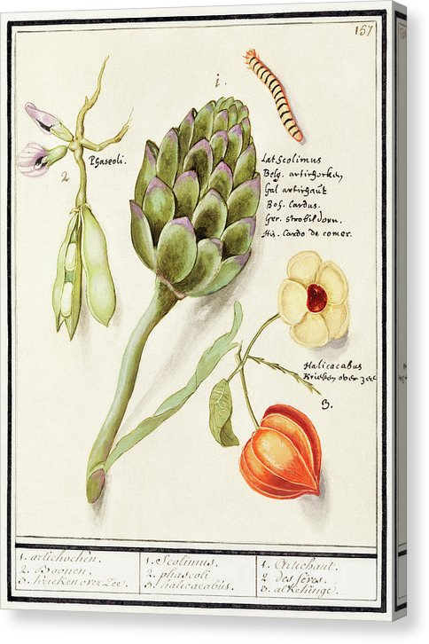 Antique Illustration Of Artichoke, Broad Beans And Chinese Lantern - Canvas Print from Wallasso - The Wall Art Superstore