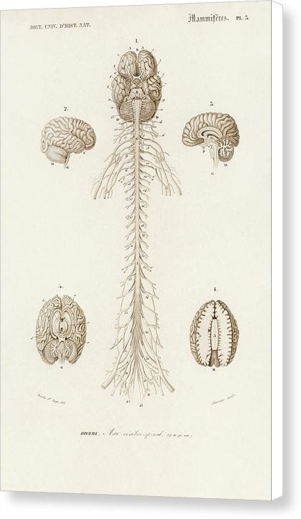 Antique Illustration of Human Brain, 1870 - Canvas Print from Wallasso - The Wall Art Superstore