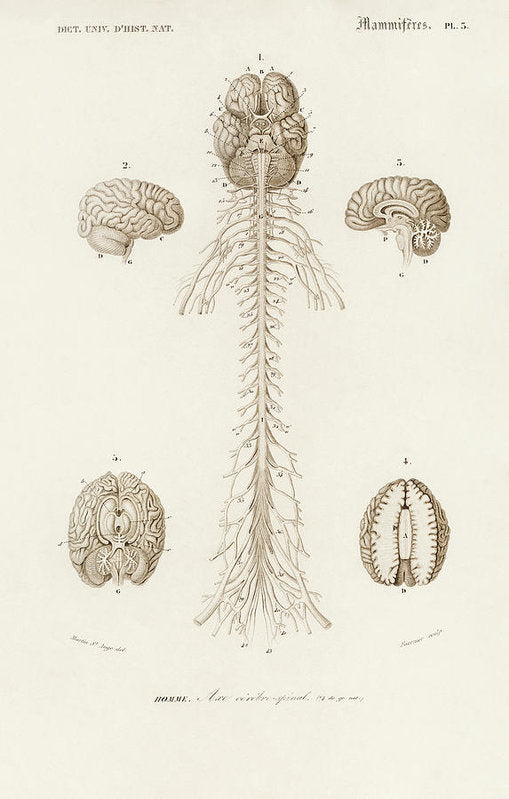 Antique Illustration of Human Brain, 1870 - Art Print from Wallasso - The Wall Art Superstore