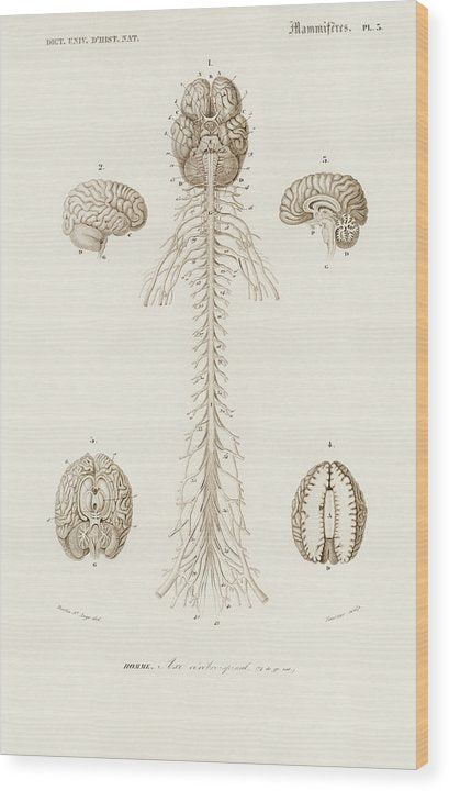 Antique Illustration of Human Brain, 1870 - Wood Print from Wallasso - The Wall Art Superstore