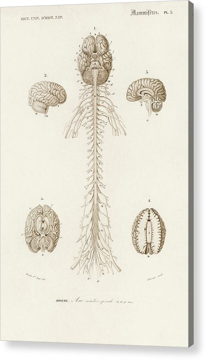 Antique Illustration of Human Brain, 1870 - Acrylic Print from Wallasso - The Wall Art Superstore