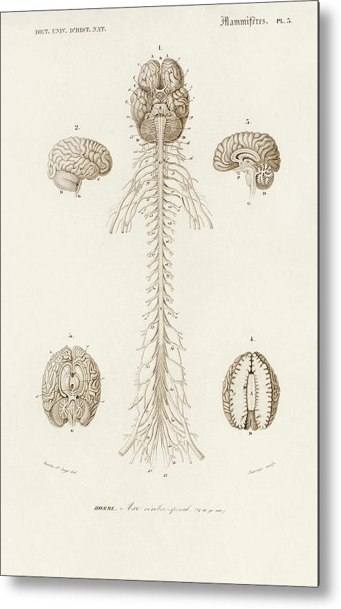 Antique Illustration of Human Brain, 1870 - Metal Print from Wallasso - The Wall Art Superstore