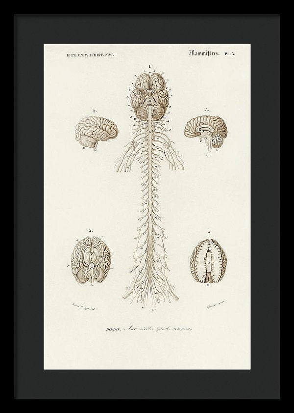 Antique Illustration of Human Brain, 1870 - Framed Print from Wallasso - The Wall Art Superstore