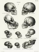 Antique Illustration of Human, Monkey, and Ape Skulls, 1845 - Art Print from Wallasso - The Wall Art Superstore