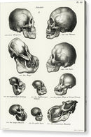 Antique Illustration of Human, Monkey, and Ape Skulls, 1845 - Acrylic Print from Wallasso - The Wall Art Superstore