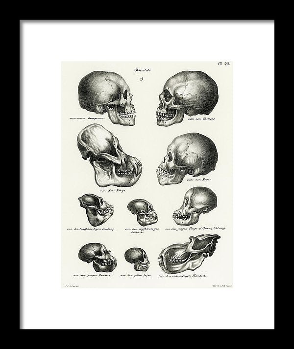 Antique Illustration of Human, Monkey, and Ape Skulls, 1845 - Framed Print from Wallasso - The Wall Art Superstore