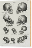 Antique Illustration of Human, Monkey, and Ape Skulls, 1845 - Wood Print from Wallasso - The Wall Art Superstore