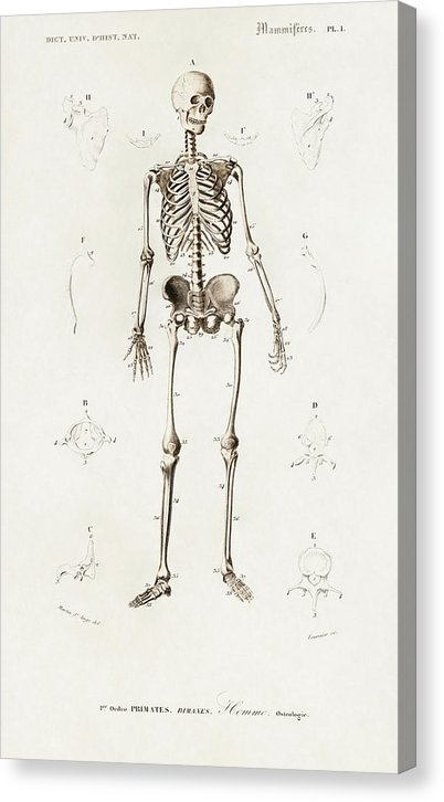 Antique Illustration of Human Skeleton, 1870 - Canvas Print from Wallasso - The Wall Art Superstore