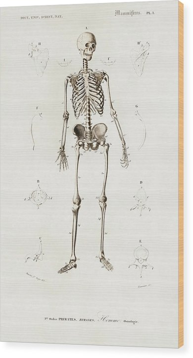 Antique Illustration of Human Skeleton, 1870 - Wood Print from Wallasso - The Wall Art Superstore