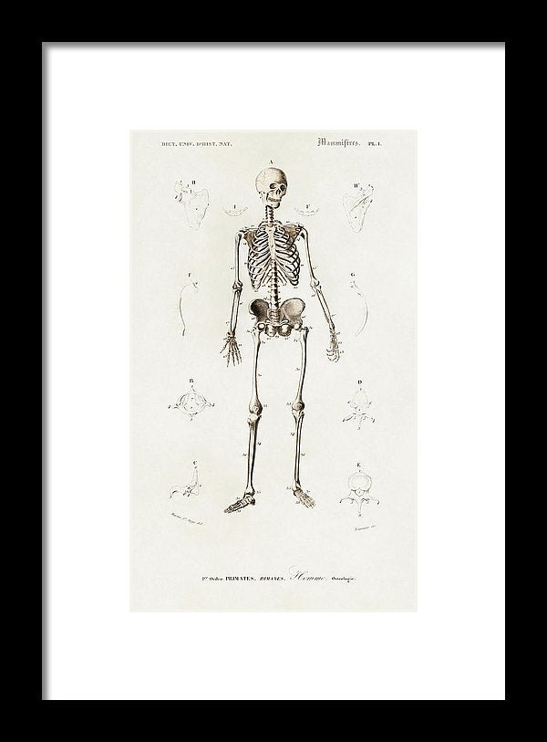 Antique Illustration of Human Skeleton, 1870 - Framed Print from Wallasso - The Wall Art Superstore