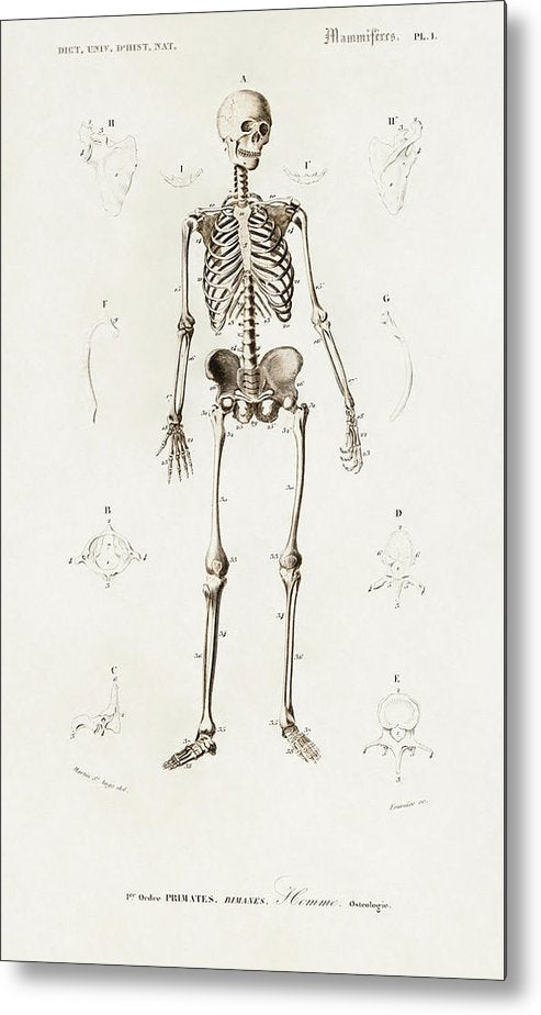 Antique Illustration of Human Skeleton, 1870 - Metal Print from Wallasso - The Wall Art Superstore