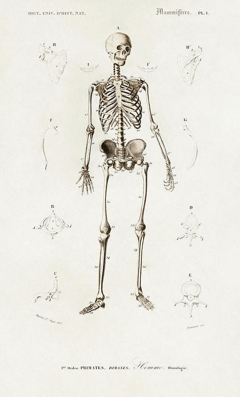 Antique Illustration of Human Skeleton, 1870 - Art Print from Wallasso - The Wall Art Superstore