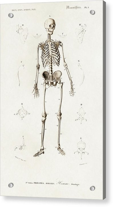 Antique Illustration of Human Skeleton, 1870 - Acrylic Print from Wallasso - The Wall Art Superstore