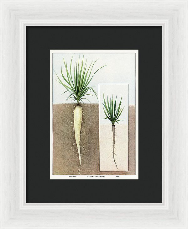 Antique Illustration of Oyster Plant - Framed Print from Wallasso - The Wall Art Superstore