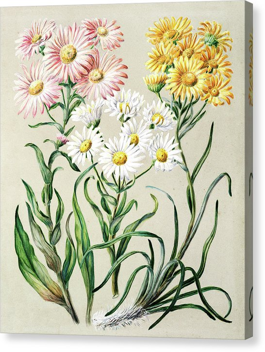 Antique Illustration Of Snow Groundsel Flowers - Canvas Print from Wallasso - The Wall Art Superstore