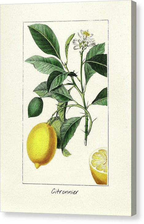 Antique Lemon Illustration - Canvas Print from Wallasso - The Wall Art Superstore