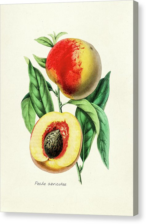 Antique Peach Illustration - Canvas Print from Wallasso - The Wall Art Superstore