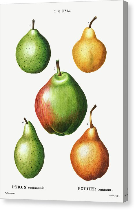 Antique Pear Illustration, 2 of 2 Set - Canvas Print from Wallasso - The Wall Art Superstore