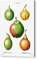 Antique Pear Illustration, 2 of 2 Set - Acrylic Print from Wallasso - The Wall Art Superstore