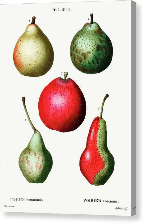 Antique Pear Illustration, 1 of 2 Set - Canvas Print from Wallasso - The Wall Art Superstore