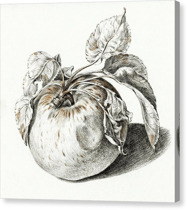 Antique Sketch Of Apple - Canvas Print from Wallasso - The Wall Art Superstore