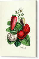 Antique Strawberry Bunch Illustration - Canvas Print from Wallasso - The Wall Art Superstore