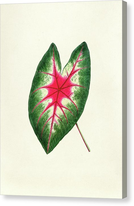 Antique Watercolor Drawing Of Mosaic Caladium Leaf - Canvas Print from Wallasso - The Wall Art Superstore