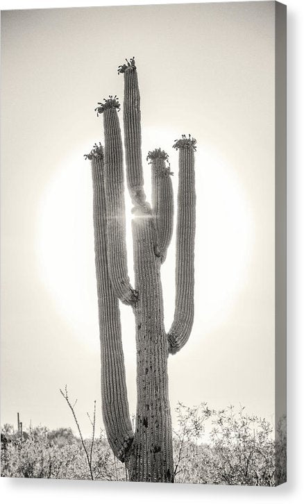 Backlit Saguaro Cactus, Sepia - Canvas Print from Wallasso - The Wall Art Superstore