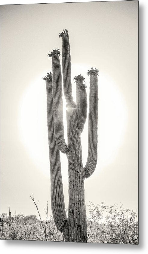 Backlit Saguaro Cactus, Sepia - Metal Print from Wallasso - The Wall Art Superstore