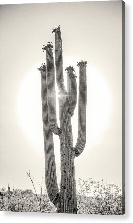 Backlit Saguaro Cactus, Sepia - Acrylic Print from Wallasso - The Wall Art Superstore