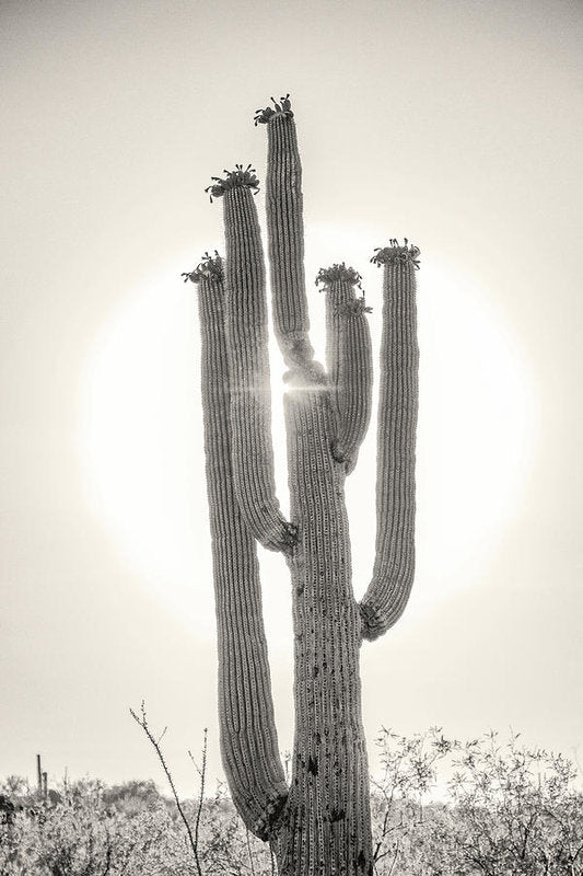 Backlit Saguaro Cactus, Sepia - Art Print from Wallasso - The Wall Art Superstore