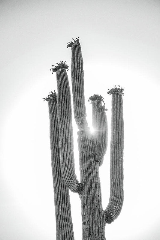 Backlit Saguaro Cactus - Art Print from Wallasso - The Wall Art Superstore