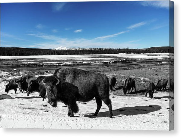 Black and White Buffalo In Yellowstone With Blue Sky - Canvas Print from Wallasso - The Wall Art Superstore