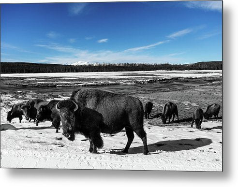 Black and White Buffalo In Yellowstone With Blue Sky - Metal Print from Wallasso - The Wall Art Superstore