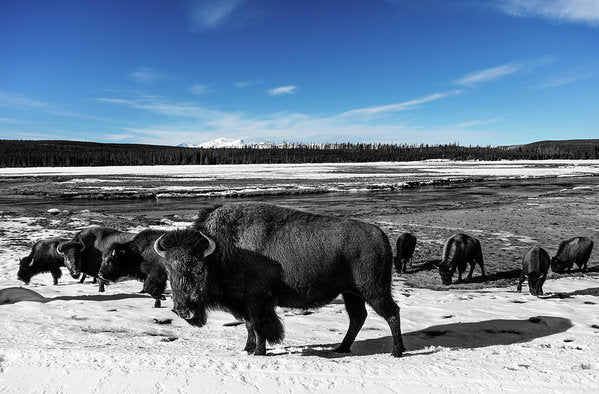 Black and White Buffalo In Yellowstone With Blue Sky - Art Print from Wallasso - The Wall Art Superstore