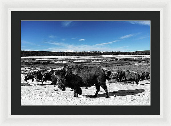 Black and White Buffalo In Yellowstone With Blue Sky - Framed Print from Wallasso - The Wall Art Superstore