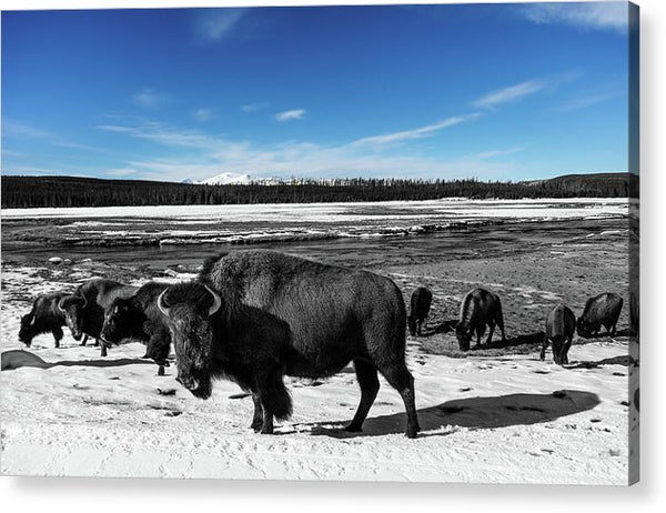 Black and White Buffalo In Yellowstone With Blue Sky - Acrylic Print from Wallasso - The Wall Art Superstore