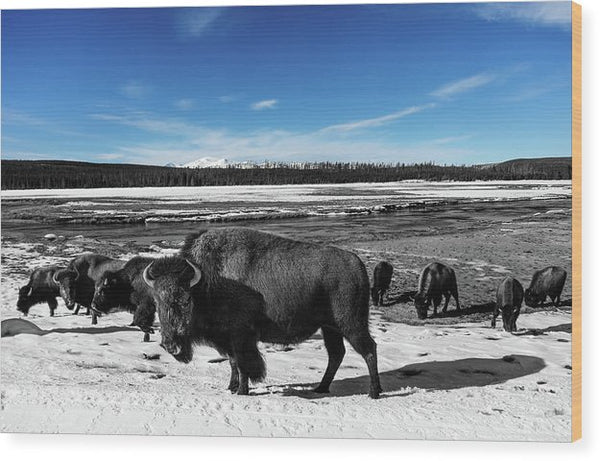 Black and White Buffalo In Yellowstone With Blue Sky - Wood Print from Wallasso - The Wall Art Superstore