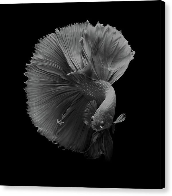 Black and White Siamese Fighting Fish, Betta - Canvas Print from Wallasso - The Wall Art Superstore
